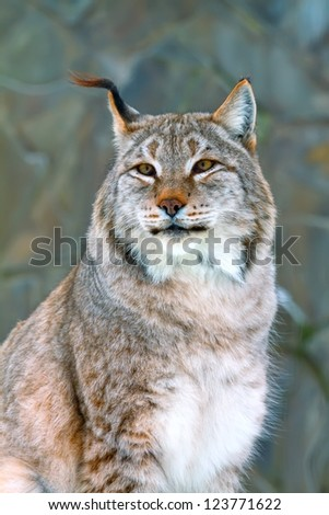 portrait of a wild lynx in the winter - stock photo