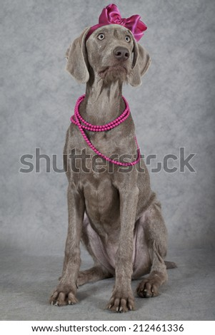 Portrait of a Wirehaired Slovakian pointer dog with glass beads