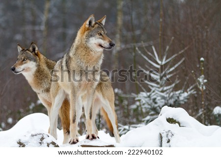 Portrait of a wolf - stock photo