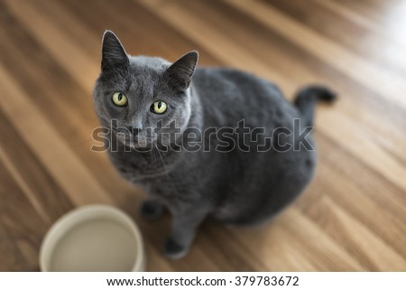 Portrait of a 10-year old female grey cat - stock photo