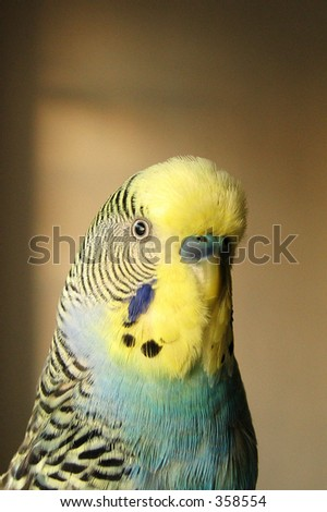 Portrait of a yellow and blue parakeet