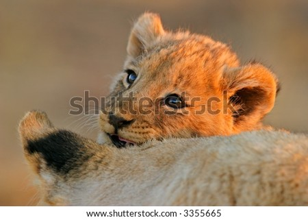 Portrait of a young African lion cub (Panthera leo) with its mother - stock photo
