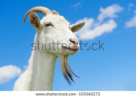 portrait of a young animal goat standing on green summer pasture - stock photo