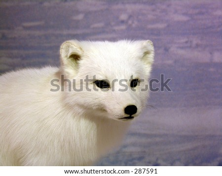 Portrait of a young arctic fox... - stock photo