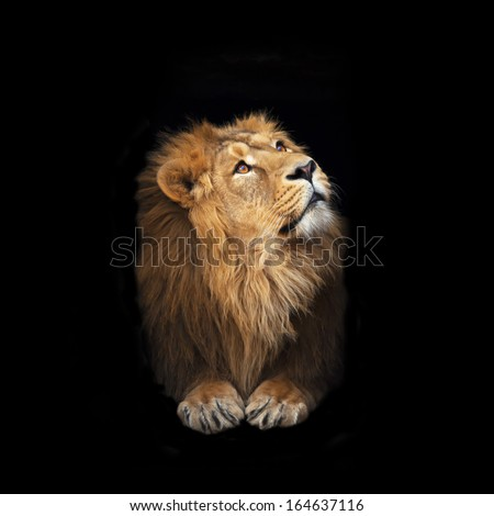 Portrait of a young Asian lion, looking up and isolated on black background. The King of beasts with splendid mane. Wild beauty of the biggest cat. The most dangerous and mighty predator of the world. - stock photo