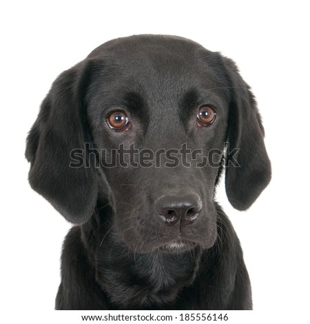 Portrait of a young black labrador, isolated on white - stock photo
