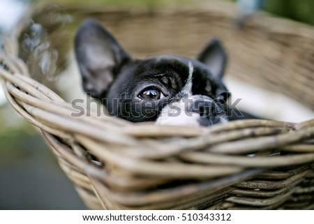 Portrait of a Young Boston Terrier riding in basket on Bicycle with lamb skin