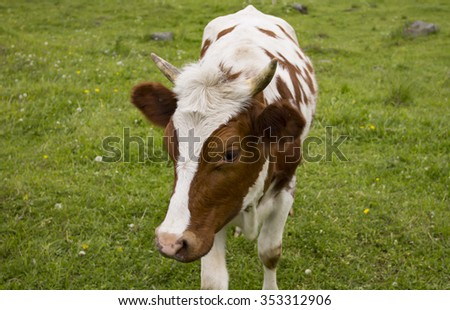 Portrait of a young cow with funny haircut on head. - stock photo