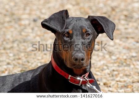 Portrait of a young Doberman pedigree dog - stock photo