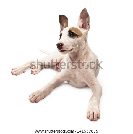 portrait of a young dog isolated on white