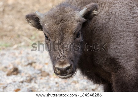Portrait of a young European bison or Wisent (Bison bonasus). - stock photo