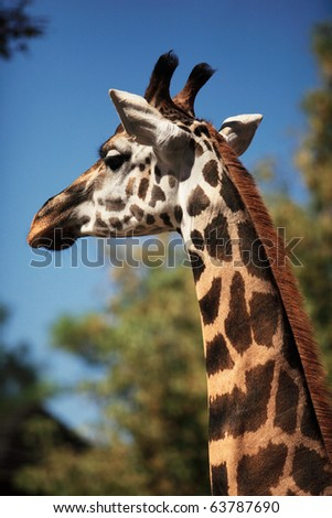 Portrait of a young giraffe, nature background - stock photo
