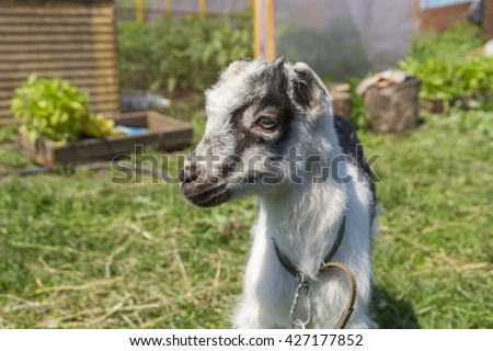 Portrait of a young goat breed of La Mancha walking in a meadow on a sunny spring day. - stock photo