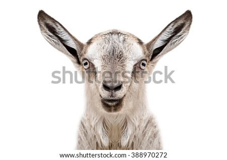 Portrait of a young gray goat, closeup, isolated on white background - stock photo