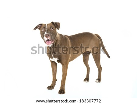 Portrait of a young happy Pitt Bull and Labrador Retriever mix standing and smiling at the camera and isolated on white. - stock photo