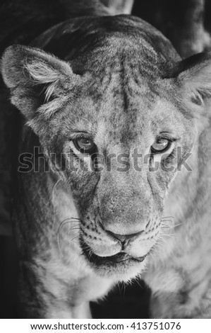Portrait of a young lioness trapped in cage at the Zoo in Thailand. Black and white