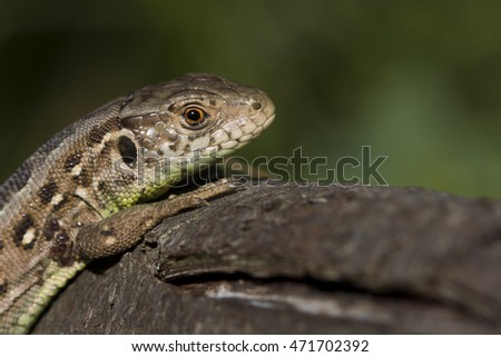 Portrait of a young male Sand Lizard on a tree branch in the Dutch Dunes