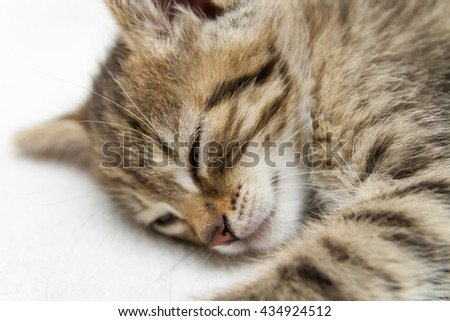 Portrait of a young Norwegian Forest kitten during sleep.