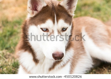 portrait of a young, purebred Siberian husky dog. brown fur and bright blue eyes. 6 months old, domestic breed. he is focused on something. - stock photo