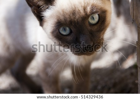 portrait of a young siamese cat with two different eye colors