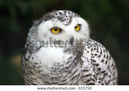 Portrait of a young snow owl