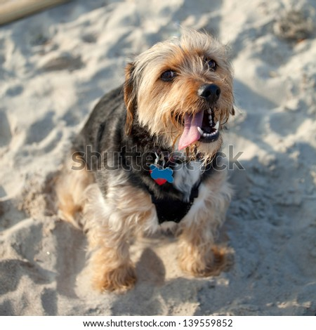 Portrait of a young yorkshire terrier beagle mix dog in the sand at the beach. Shallow depth of field. - stock photo