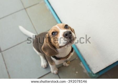 Portrait of adorable puppy beagle - stock photo