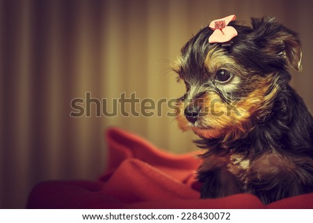 Portrait of adorable Yorkshire terrier puppy dog with head fur tied with pink bow, looking aside while laying on red blanket. Copy space. - stock photo