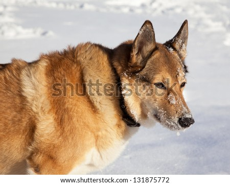 Portrait of adult  dog on white snow. Hunting.