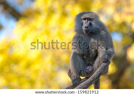 Portrait of african baboon monkey - stock photo