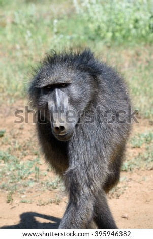 Portrait of african baboon monkey, Namibia, Africa  - stock photo