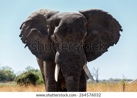 Portrait of African Elephant in Caprivi Game Park, Kavango, Namibia. True wildlife photography - stock photo