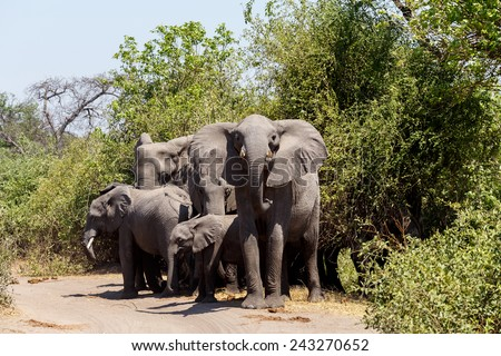 Portrait of African Elephant in Chobe National Park, Botswana. True wildlife photography - stock photo