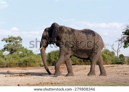 Portrait of African Elephant in Chobe National Park, Botswana. True wildlife photography - stock photo
