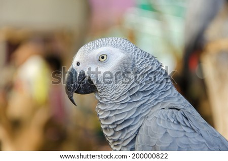 Portrait of African Gray Parrot. - stock photo