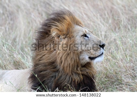 Portrait of african lion - stock photo
