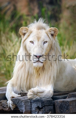 Portrait of albino lion.