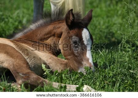 Portrait of amazing brown foal lying on pasturage - stock photo