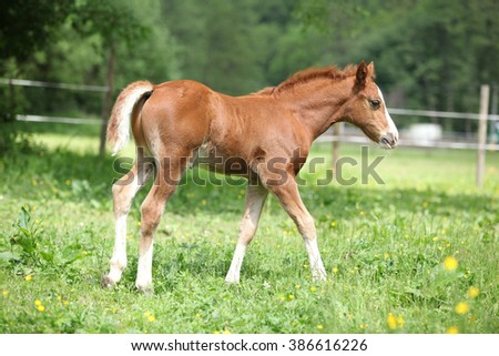 Portrait of amazing chestnut foal moving on pasturage - stock photo