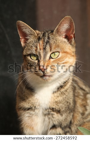 Portrait of amazing tricolour cat with nice eyes looking at you