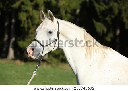 Portrait of amazing white stallion of arabian horse - stock photo