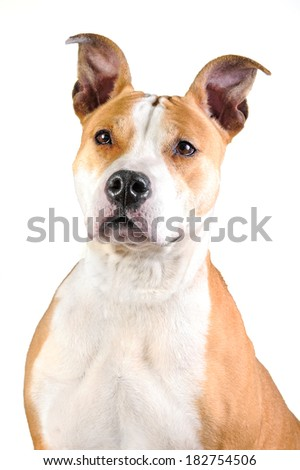Portrait of american staffordshire terrier isolated on white