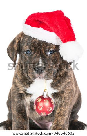 Portrait of american staffordshire terrier puppy dressed in a santa claus hat holding a christmas ball in its mouth - stock photo
