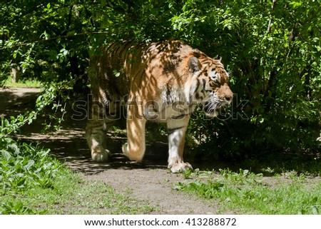 Portrait of Amur Tiger in the wild habitat - stock photo