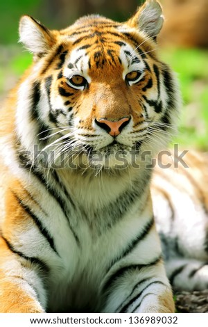 Portrait of Amur Tigers in summer day - stock photo