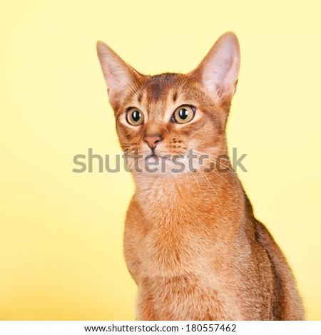 Portrait of an Abyssinian cat on yellow background - stock photo