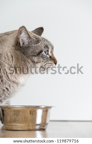 Portrait of an active serious striped cat pet and cat food - stock photo