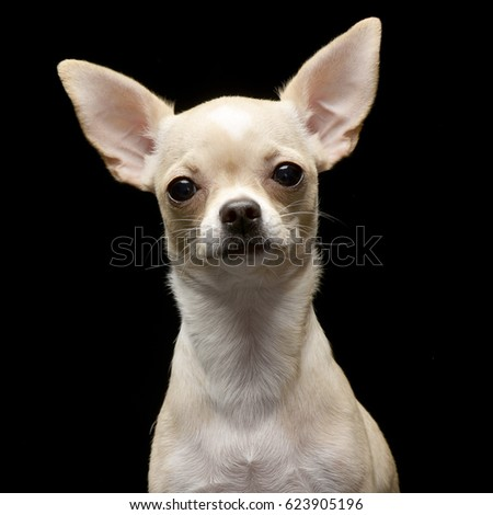 Portrait of an adorable Chihuahua - studio shot, isolated on black.