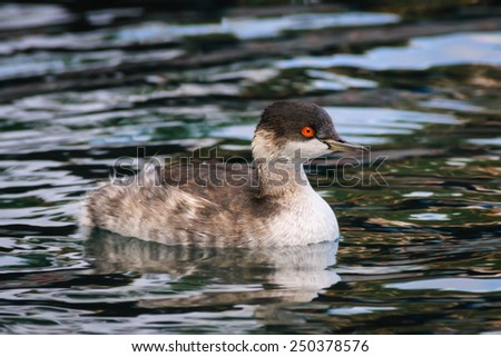 Portrait of an adult black-necked grebe (Podiceps nigricollis) in winter dress, Lesbos, Greece - stock photo