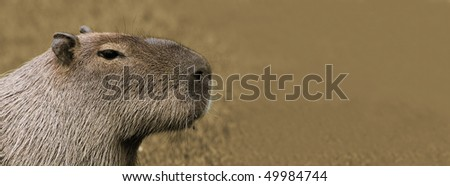 Portrait of an adult Capybara with Copy space (sepia tone)